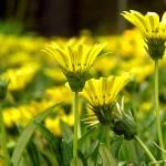 Не сад, а золото – цветы оттенков желтого