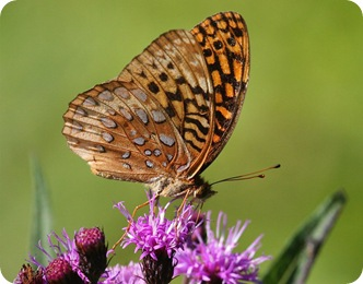 Бабочка шашечница Авриния (рыжая)