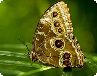 Бабочка Краеглазка эгерия