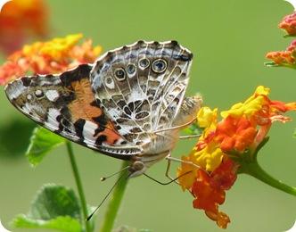 Бабочка репейница на цветке