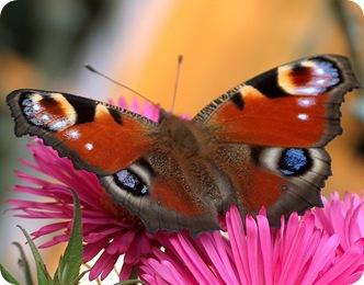 Бабочка павлиний глаз на цветке