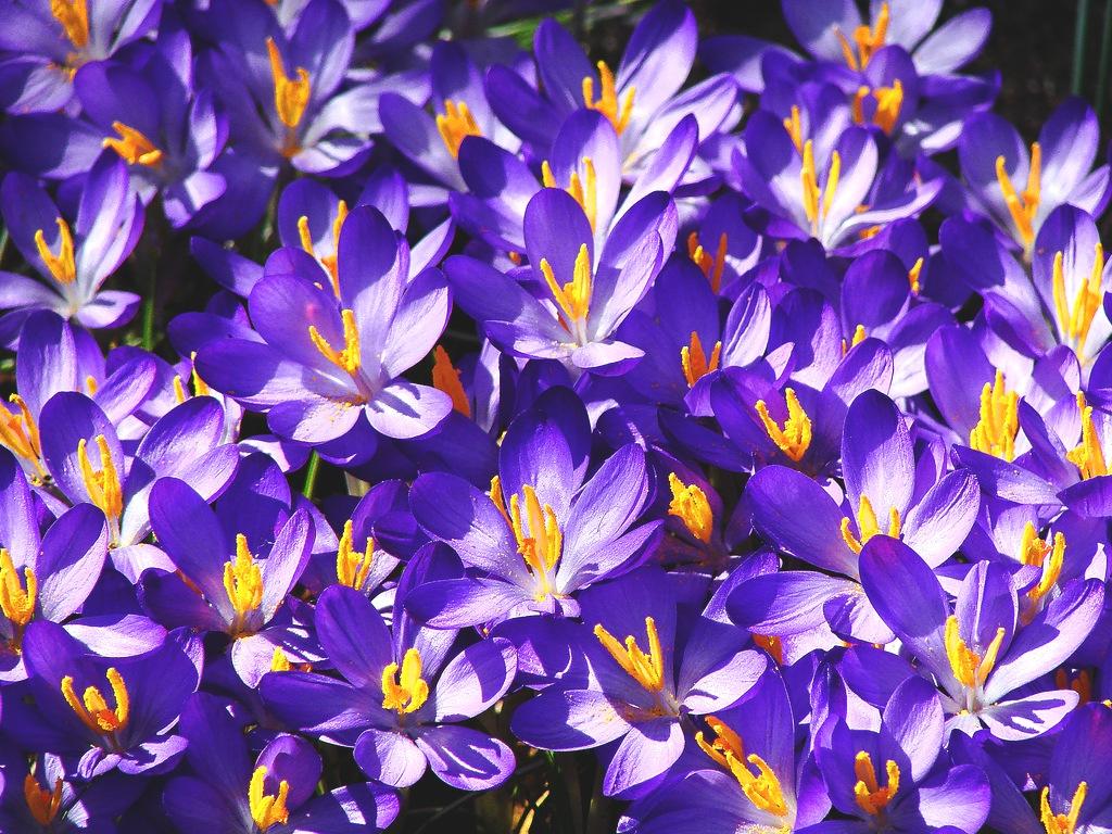 http://flowers.cveti-sadi.ru/files/2009/06/crocusy.jpg