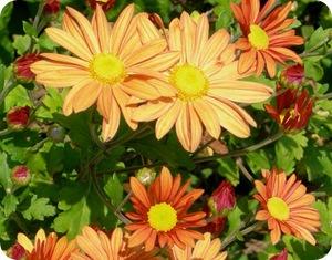 Хризантема корейская – многоцветье для вашего сада