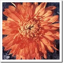 Корейская хризантема сорт 'Оранжевый закат'