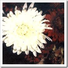 Корейская хризантема сорт 'Святозар'