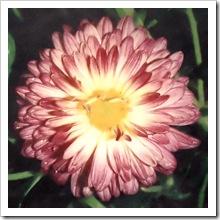 Корейская хризантема сорт 'Варвара'
