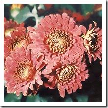 Корейская хризантема сорт 'Вiтчизна'