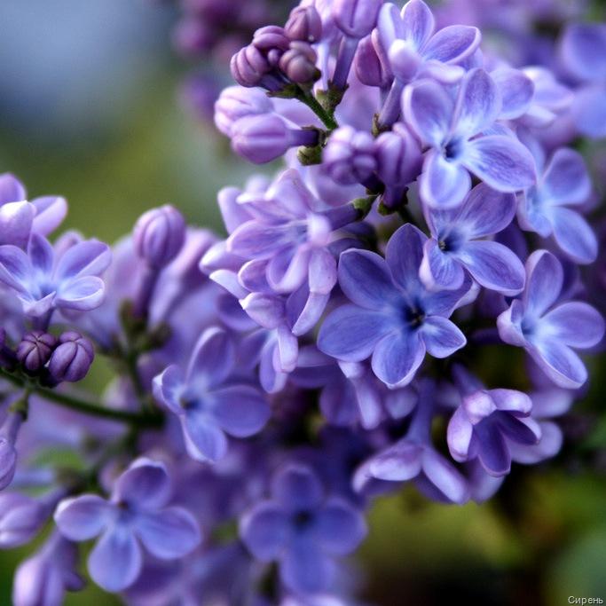 http://flowers.cveti-sadi.ru/files/2009/06/lilac.jpg