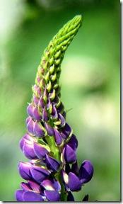 Фиолетовый люпин