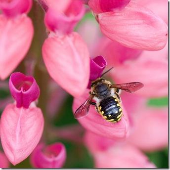 Люпин и пчела