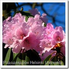 Рододендрон Helsinki University