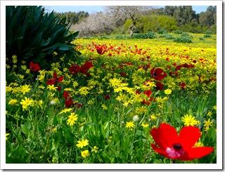 Лужайка с красными маками