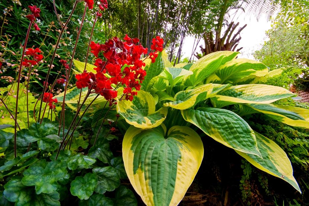 http://flowers.cveti-sadi.ru/files/2009/06/tenevynoslivyipolisadnik.jpg