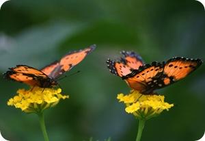 Две бабочки углокрыльницы на цветах