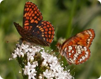 Две бабочки на цветке