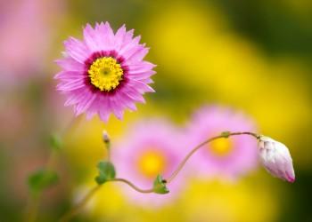 цветов акроклинум фото