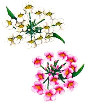 Алиссум морской (Лобулярия морская)