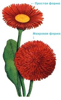Маргаритка многолетняя - рисунок, махровая и простая форма цветка