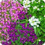 Алиссум морской (Лобулярия морская) трех цветов