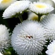 Маргаритки многолетние белые махровые