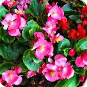 Бегония вечноцветущая Organdy