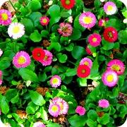 Разноцветные маргаритки в цветнике