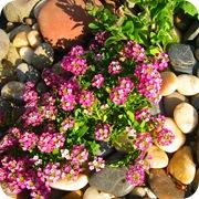 Алиссум морской среди камней