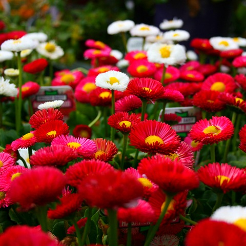 Цветы маргаритки фото, бесплатные ...: pictures11.ru/cvety-margaritki-foto.html