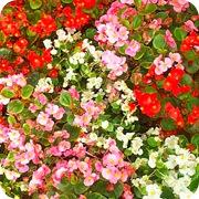 Клумба бегоний трех цветов