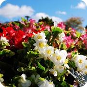 Цветник бегоний