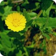 Календула желтая