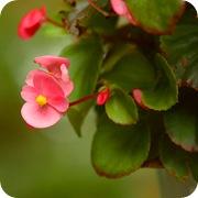 Бегония вечноцветущая