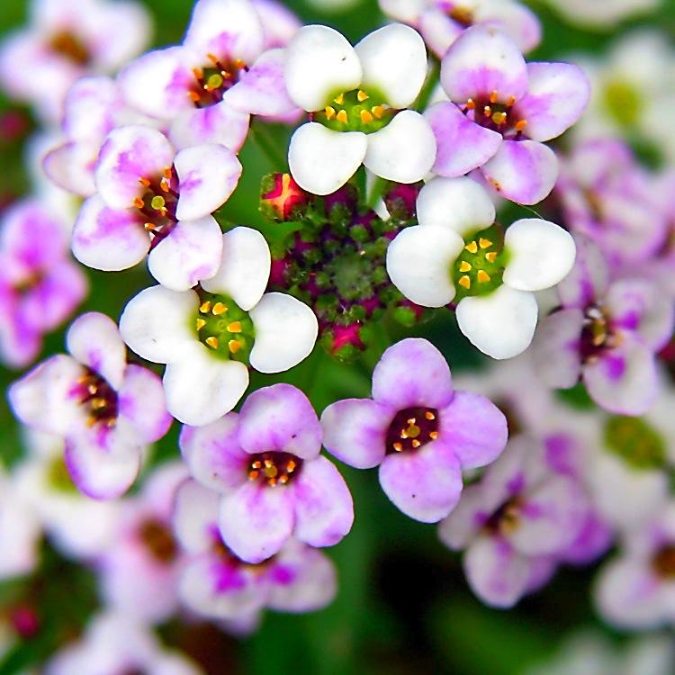 Фото однолетних цветов алиссум