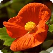 Бегония оранжевая