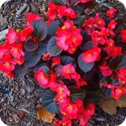 Бегония вечноцветущая с красными листьями