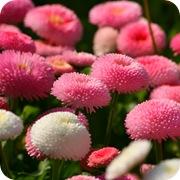 Маргаритки многолетние Pomponette махровые, белые и розовые
