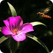Куколь посевной и муха