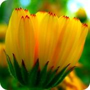 Желтый цветок календулы