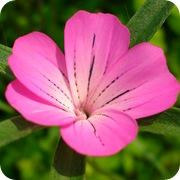 Куколь посевной розовый