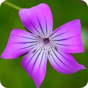 Куколь посевной фиолетовый