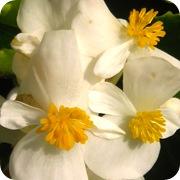 Бегония вечноцветущая белая
