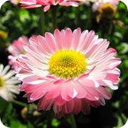Маргаритка многолетняя розовая