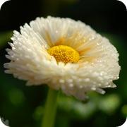 Маргаритка многолетняя белая махровая