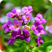Лобулярия морская фиолетовая