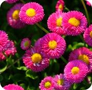 Маргаритки многолетние розовые
