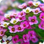 Алиссум морской розовый
