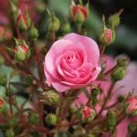 Лютик садовый – как за ним ухаживать