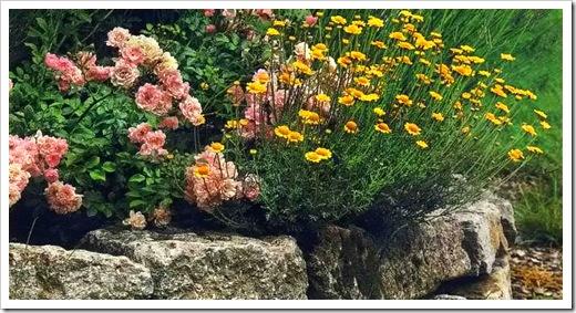 Пупавка и роза плетистая