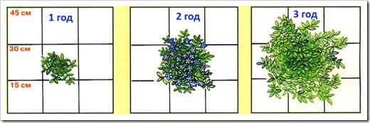 Посадка барвинка - расстояние между растениями