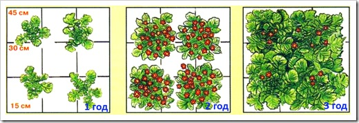 Посадка гравилата - расстояние между растениями